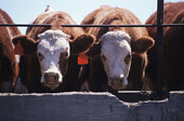Could E. Coli Vaccine for Cows Cut Human Infections?