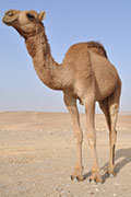 Deadly MERS Virus Detected in Camels